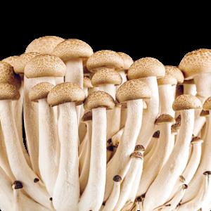 Microdose Mushrooms Psilocybe Cubensis Golden Teacher