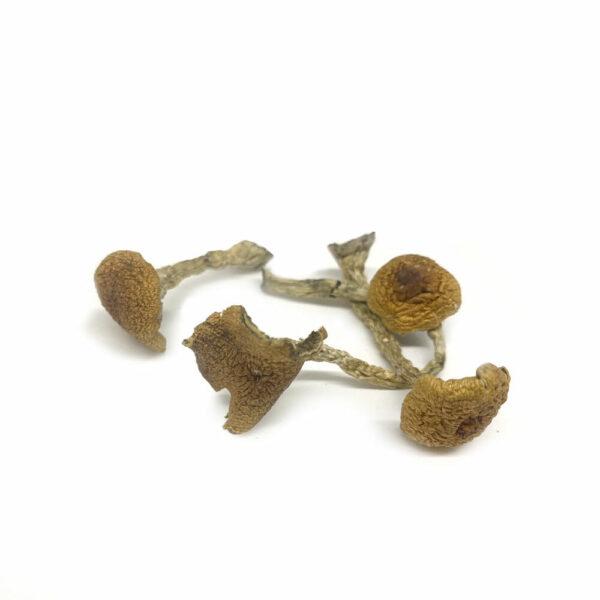 Microdose Mushrooms Golden Teachers