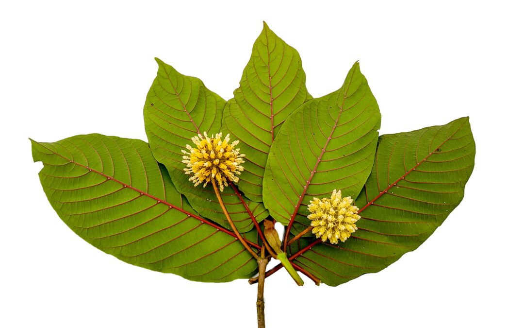 The Nootropic Power of Kratom – Kratom Canada – Buy Kratom Online