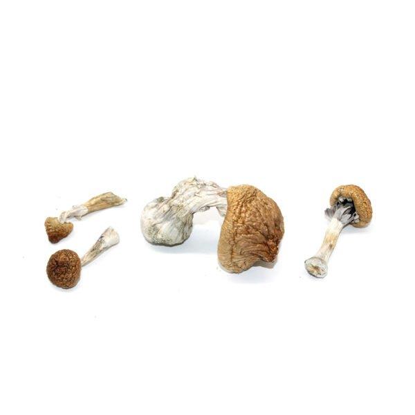 Lizard King Mushrooms